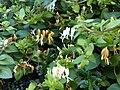 Dipsacales - Lonicera japonica 2.jpg