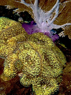 Discosoma sanctithomae (Warty Corallimorph) and purple seafan