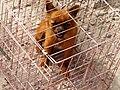 Dog for sale as meat at Kashgar market.jpg