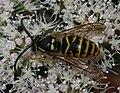 Dolichovespula sp. (pos. saxonica) - male - Flickr - S. Rae.jpg