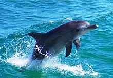 Dolphin in Amvrakikos, Preveza, Greece.jpg