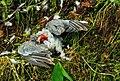 Door sperwer (Accipiter nisus) gedode houtduif (Columba palumbus). Locatie, Natuurterrein De Famberhorst 07.jpg