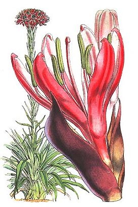 Doryanthes-excelsa Fitch.jpg