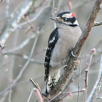 Swabia Creek - Male Downy Woodpecker