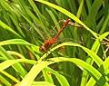 Dragonfly (61979281).jpeg
