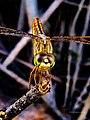 Dragonfly 11.jpg