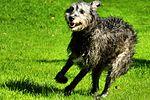 Drew - Irish Wolfhound (21129357773).jpg