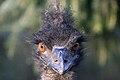 Dromaius novaehollandiae -Artis Zoo, Netherlands -head-8b.jpg