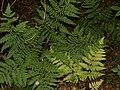 Dropteris dilatata 1.jpg