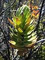 Dubautia menziesii (4743240655).jpg