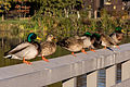 Ducks on the Pier at Neary Lagoon Park (23268788602).jpg