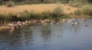 Gadananathi River - Ducks swimming in Kadana river in Poovankurichi