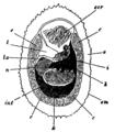 EB1911-Gastropoda 5.png