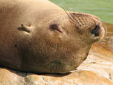 Eared-seal-head-closeup-above.jpg