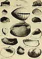 East coast marine shells - descriptions of shore mollusks together with many living below tide mark, from Maine to Texas inclusive, especially Florida, with more than one thousand drawings and (20943573248).jpg