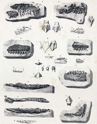 Berriasian - Echinodon