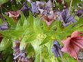 Echium wildpretii (Boraginaceae) small leaves.JPG