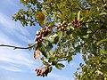 Echte Mehlbeere (Sorbus aria s. str.) mit Früchten in der Herbrechtinger Heide(Schwäbische Alb, Baden-Württemberg), 10. September 2014.jpg