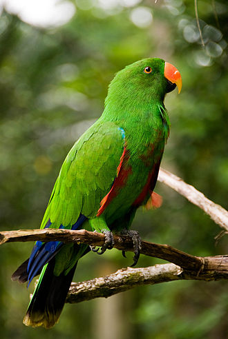 Eclectus parrot - An adult male at Malagos Garden Resort, Davao City, Philippines