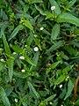 Eclipta prostrata (Asteraceae) 03.jpg