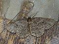 Ectropis crepuscularia - The Engrailed - Дымчатая пяденица сумеречная (27051804588).jpg