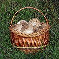 Edible fungi in basket 2020 G5.jpg