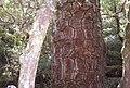 El geometrico diseño del tronco de la Araucaria - panoramio.jpg