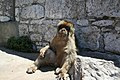 El mono mas viejo de gibraltar.jpg