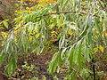 Elaeagnus angustifolia (4970791898).jpg