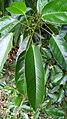 Elaeocarpus culminicola leaves.jpg