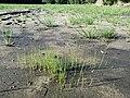 Eleocharis mamillata subsp. mamillata sl43.jpg