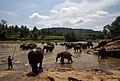 Elephants bathing in Oya River - panoramio.jpg