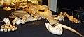 Elephas (Palaeoloxodon) antiquus.jpg