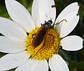Empid Fly (31461488624).jpg