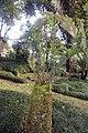 Encephalartos altensteinii 0zz.jpg