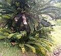 Encephalartos lebomboensis KirstenboshBotGard09292010A.jpg
