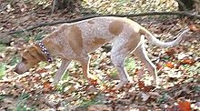 English Coonhound.jpg