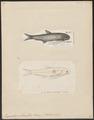 Engraulis setirostris - 1700-1880 - Print - Iconographia Zoologica - Special Collections University of Amsterdam - UBA01 IZ15100016.tif