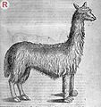 Engraving of a Llama Wellcome L0032831.jpg