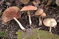 Entoloma nidorosum cropped.jpg