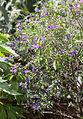Enzianstrauch (Solanum) (15014626237).jpg
