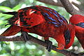 Eos reticulata -Jurong Bird Park, Singapore -two-8a.jpg