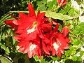 Epiphyllum lapénios.jpg