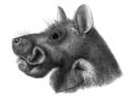 Epomophorus gambianus 2.png