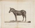 Equus zebra - 1700-1880 - Print - Iconographia Zoologica - Special Collections University of Amsterdam - UBA01 IZ21700001.tif