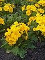 Ericales - Primula × polyantha - 1.jpg