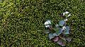 Erigenia bulbosa FWS 17520.jpg