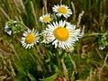 Erigeron annuus ssp. septentrionalis.jpg