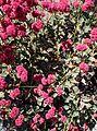 Eriogonum grande var rubescens kz2.jpg