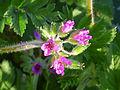 Erodium moschatum EnfoqueInflores 2011-4-01 CampodeCalatrava.jpg